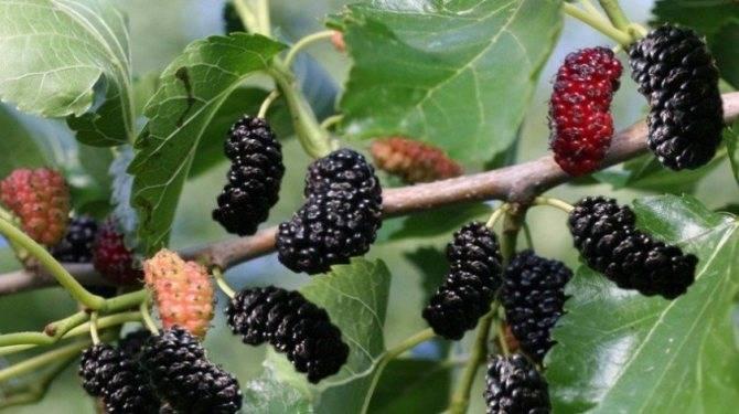 Шелковица: выращивание и уход, описание сортов с характеристикой и отзывами