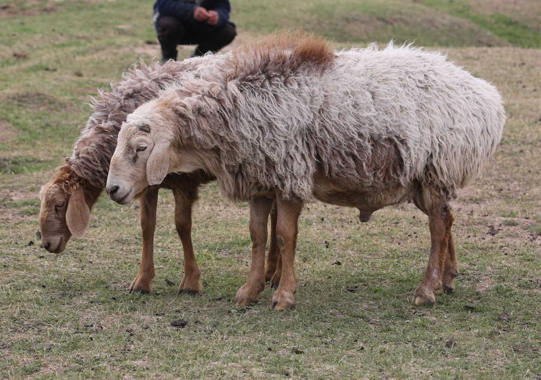 Лучшие мясные породы овец преимущества и характеристики