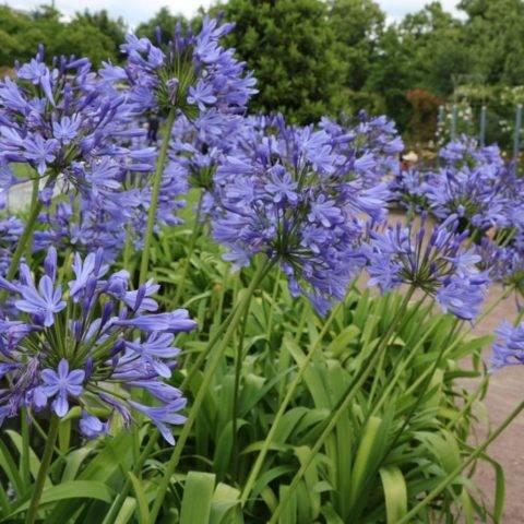 Агапантус: фото цветка, в том числе африканского (зонтичного), значение, выращивание комнатного растения и уход за ним, посадка семян в открытый грунт и дома русский фермер