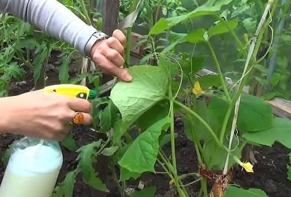 Инструкция по применению, как обрабатывать огурцы фитовермом - всё про сады