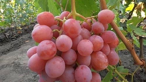 Виноград дарья, дашенька, дашуня: описание сортов, фото