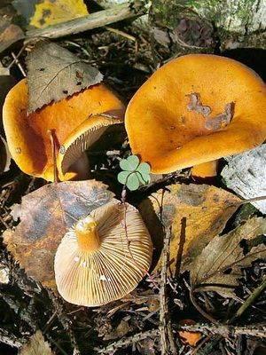 ✅ грибы подорешники фото и описание как готовить - питомник46.рф