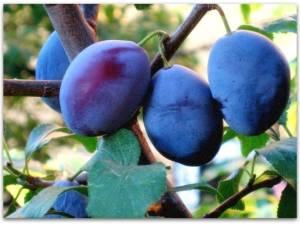Сорта сливы для чернослива: топ-5 сортов слив для вяления и сушки | огородники