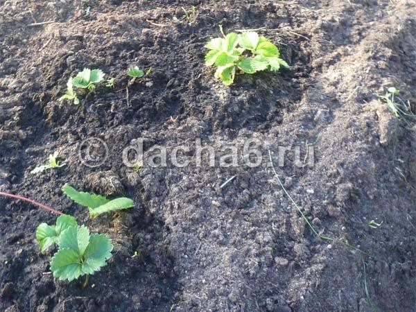 Когда пересаживать клубнику осенью в каком месяце