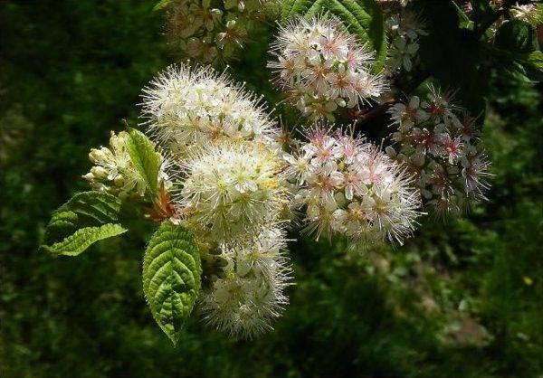 Черемуха маака - описание,посадка + черемуха маака фото дерева