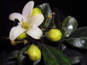 Жасмин: выращивание, уход и размножение в комнатных условиях