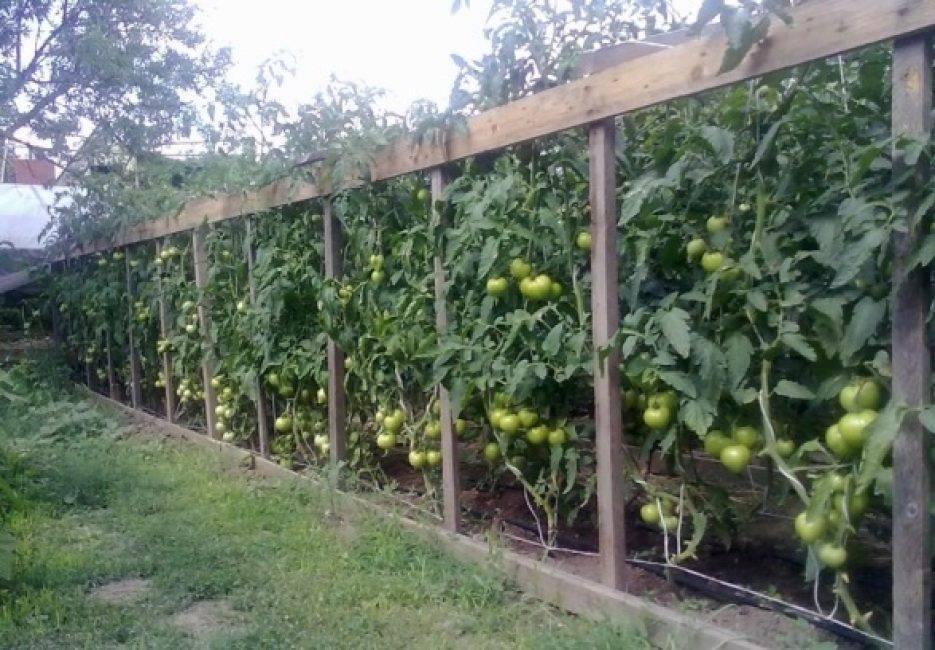 Как подвязывать кусты помидоров в открытом грунте