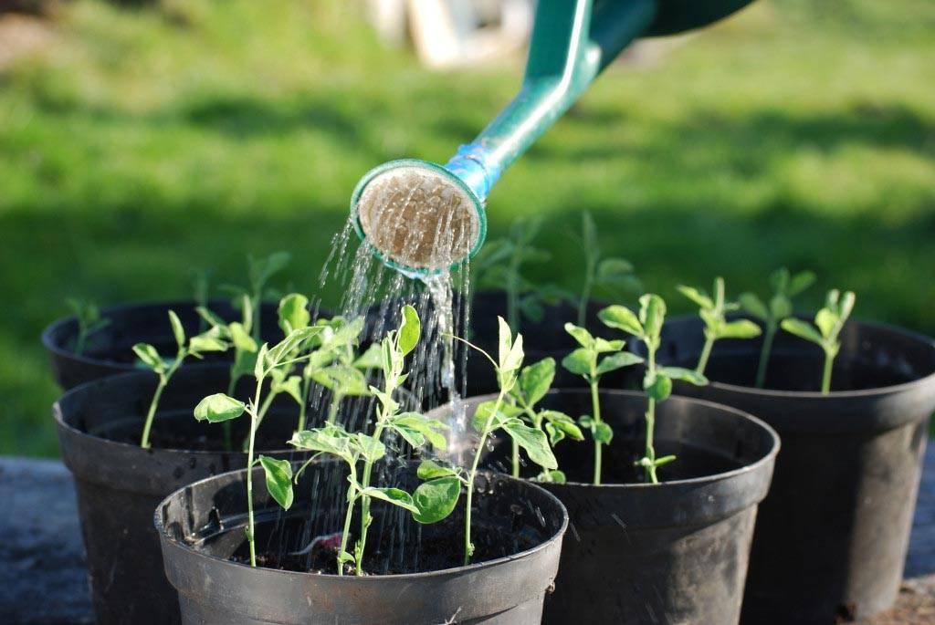 Как вырастить рассаду перца в домашних условиях: пошаговая инструкция |