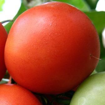 Томаты «белый налив» — популярный сорт с хорошей урожайностью