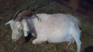 Понос у козы: что делать и чем лечить