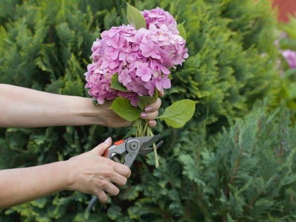 Подготовка садовой гортензии к зиме: как обрезать и укрыть правильно