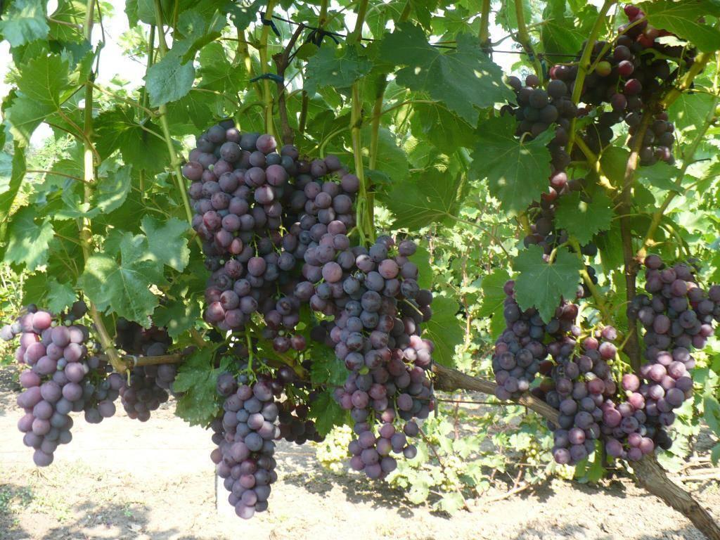 Виноград кардинал: описание сорта с характеристикой и отзывами, особенности посадки и выращивания, фото