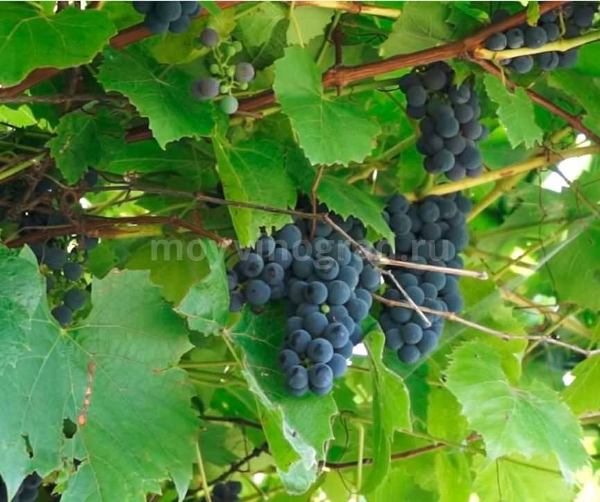 """Подробное описание винного сорта винограда """"альфа"""""""