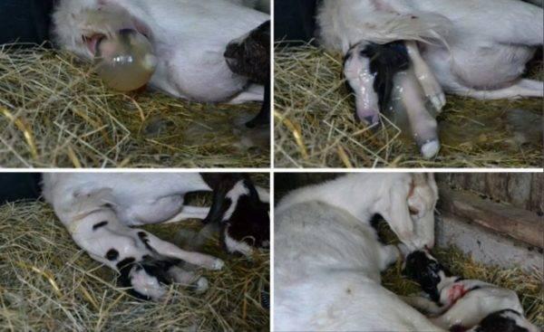 У козы после окота мало молока: что делать и в чем причина, методы увеличения