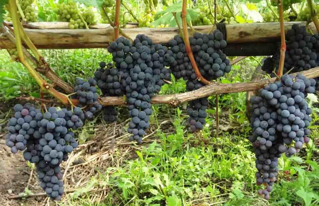 Виноград аттика - мир винограда - сайт для виноградарей и виноделов