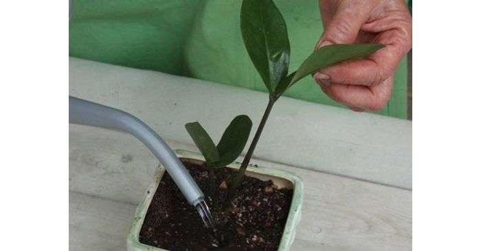 Замиокулькас не растет: почему это происходит и что нужно делать, как ускорить рост? нюансы выращивания