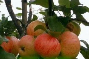 Осенние сорта яблони: выбираем лучшие варианты по описанию и фото
