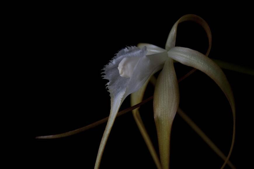 Орхидея брассавола: уход в домашних условиях. полезные советы для начинающих цветоводов