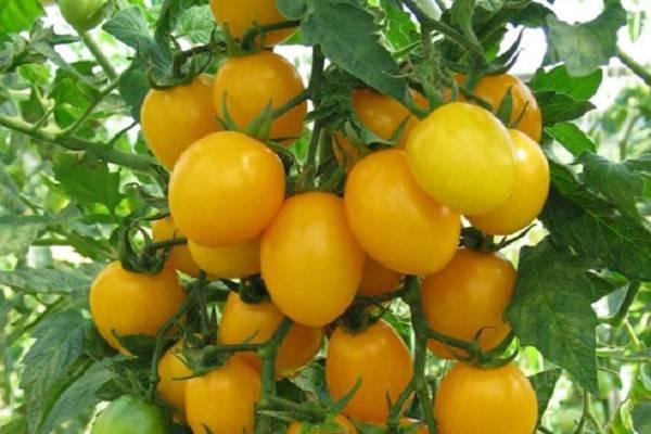 Особенности выращивания медовой капли в огороде, посадка и уход за желтыми томатами