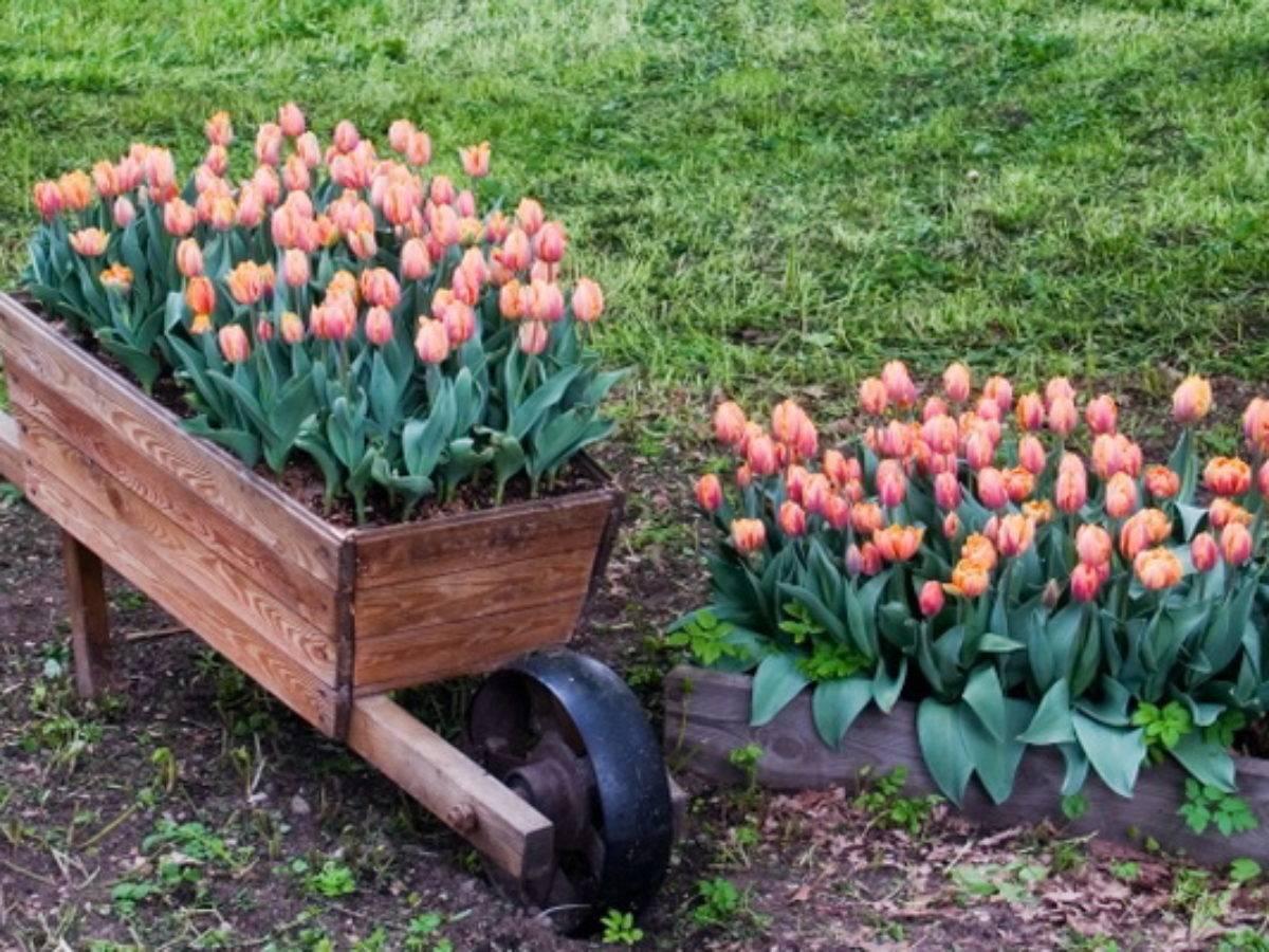 Посадка тюльпанов весной: когда и как посадить в московской области?