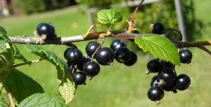 Витаминная черная смородина: самые сладкие, крупноплодные, урожайные сорта