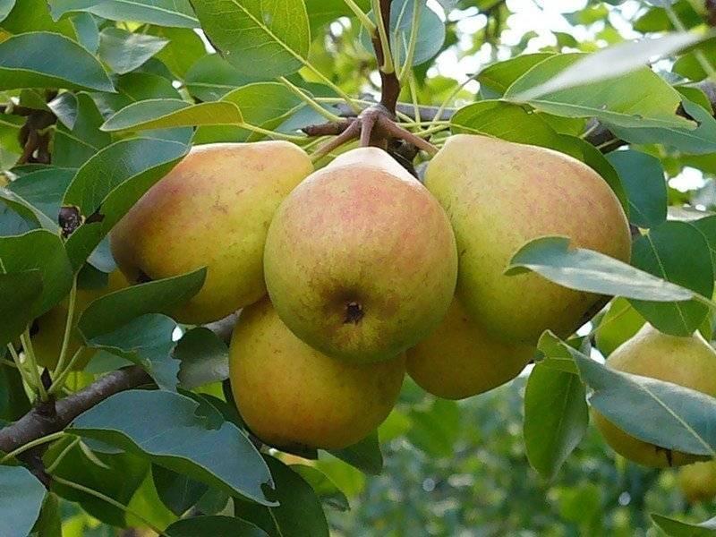 Груша память жегалова: выращиваем сорт с ароматными плодами - советы