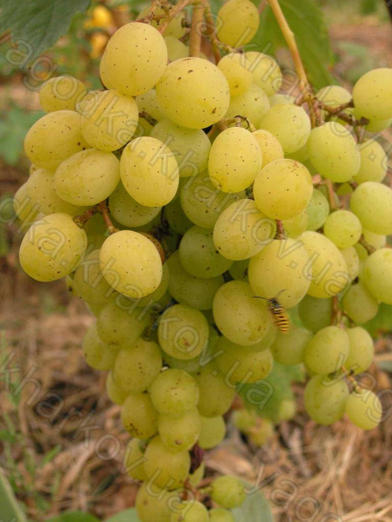 """Детальное рассмотрение сорта винограда """"фруамоаса албэ"""""""