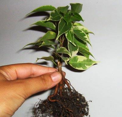 Фикус кинки: уход в домашних условиях, пересадка после покупки, фото растения