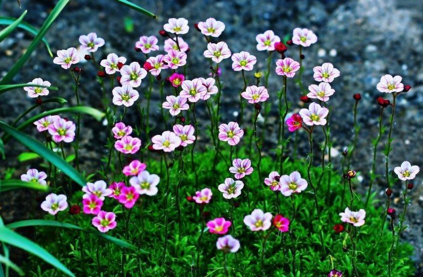 Камнеломка арендса: виды цветка, посадка и уход, вредители и заболевания