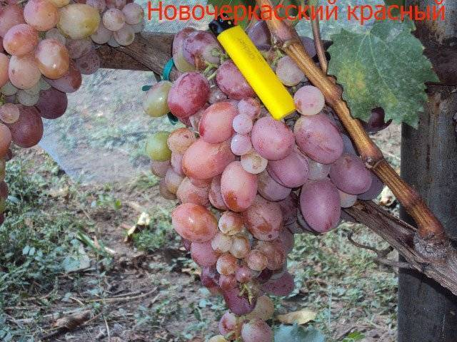 Гурман ранний – любительский гибридный сорт винограда для ценителей