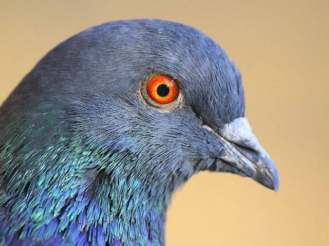 Как определить пол голубя по внешним признакам
