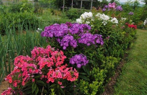 Флокс друммонда: посадка и уход, выращивание из семян, сорта и фото