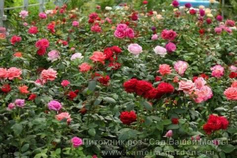 Чайно-гибридные розы (100 фото): лучшие сорта, посадка, цветение