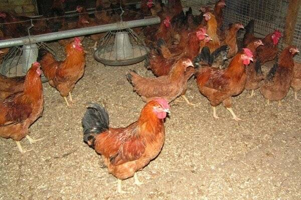 Полтавская глинистая порода кур: описание, фото, отзывы и видео
