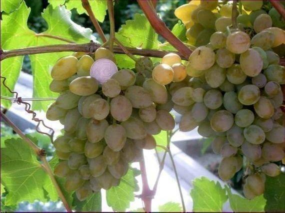 Виноград «элегант сверхранний», описание сорта и фото