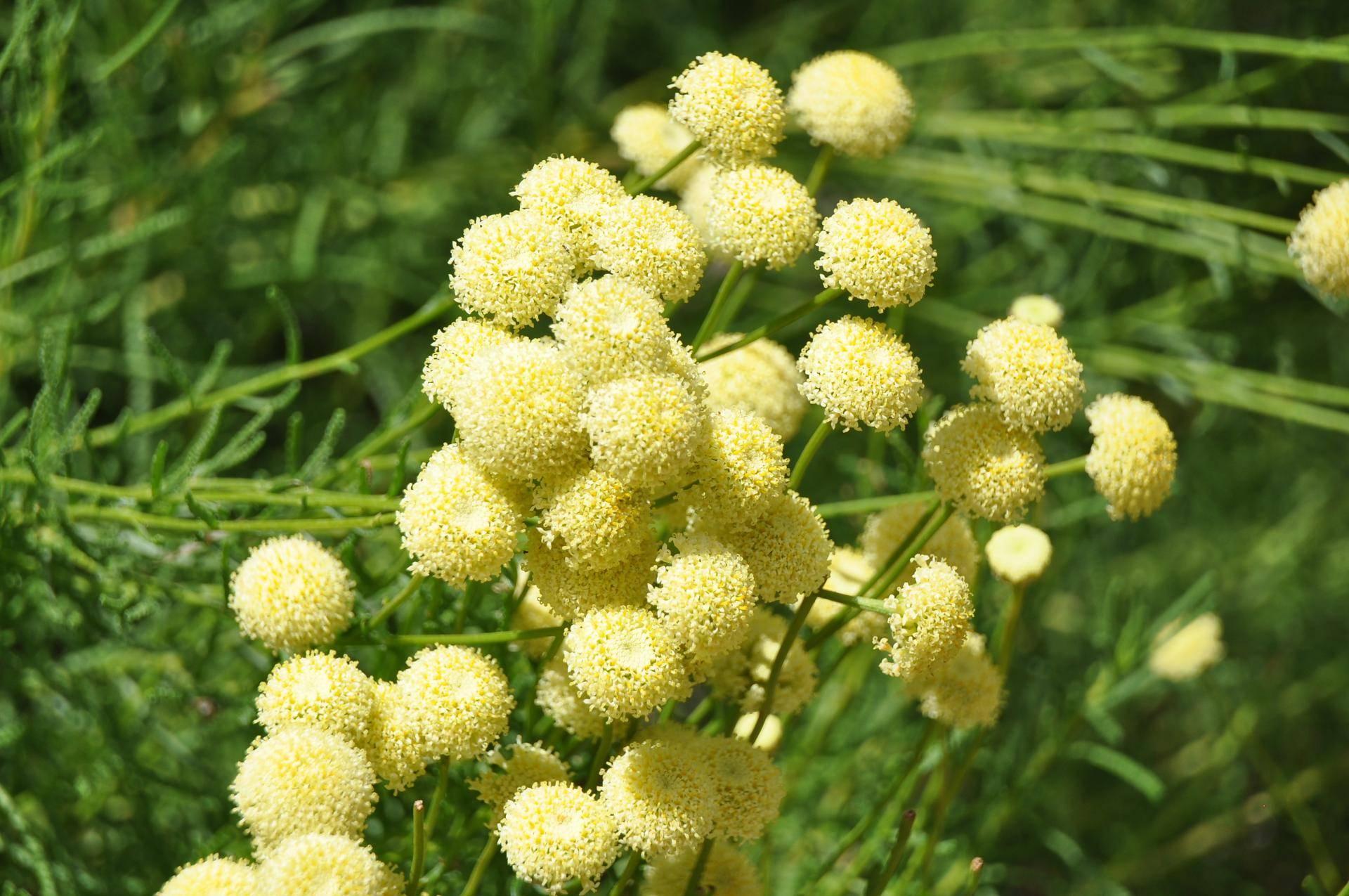 Выращивание сантолины: посев семян и высадка рассады