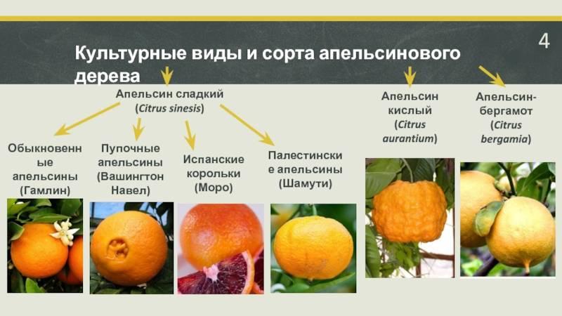 Основные виды цитрусовых
