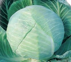 Характеристика капусты сорта Амагер