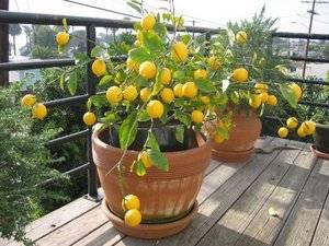 Как заставить цвести лимон в домашних условиях