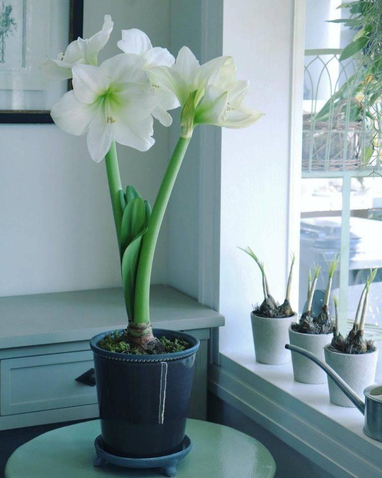 Что делать с амариллисом после цветения: как ухаживать в домашних условиях