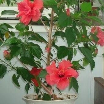 Как ухаживать за китайской розой — домашним гибискусом: как заставить цвести