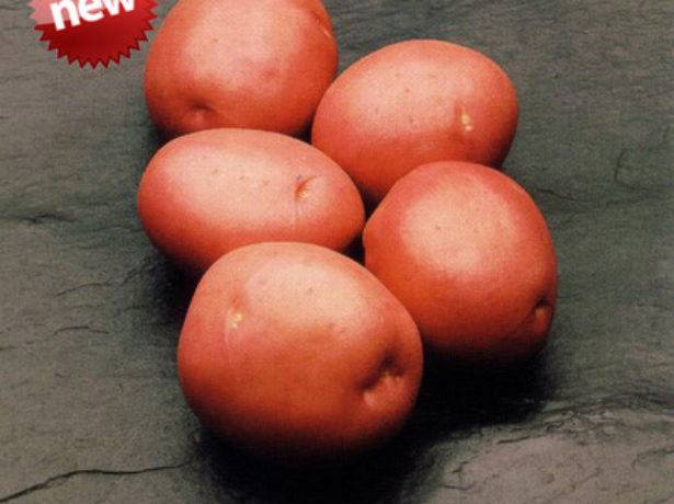 Картофель «метеор»: описание сорта, фото, отзывы
