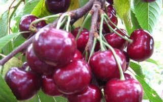 Черешня крупноплодная: описание сорта, фото, отзывы