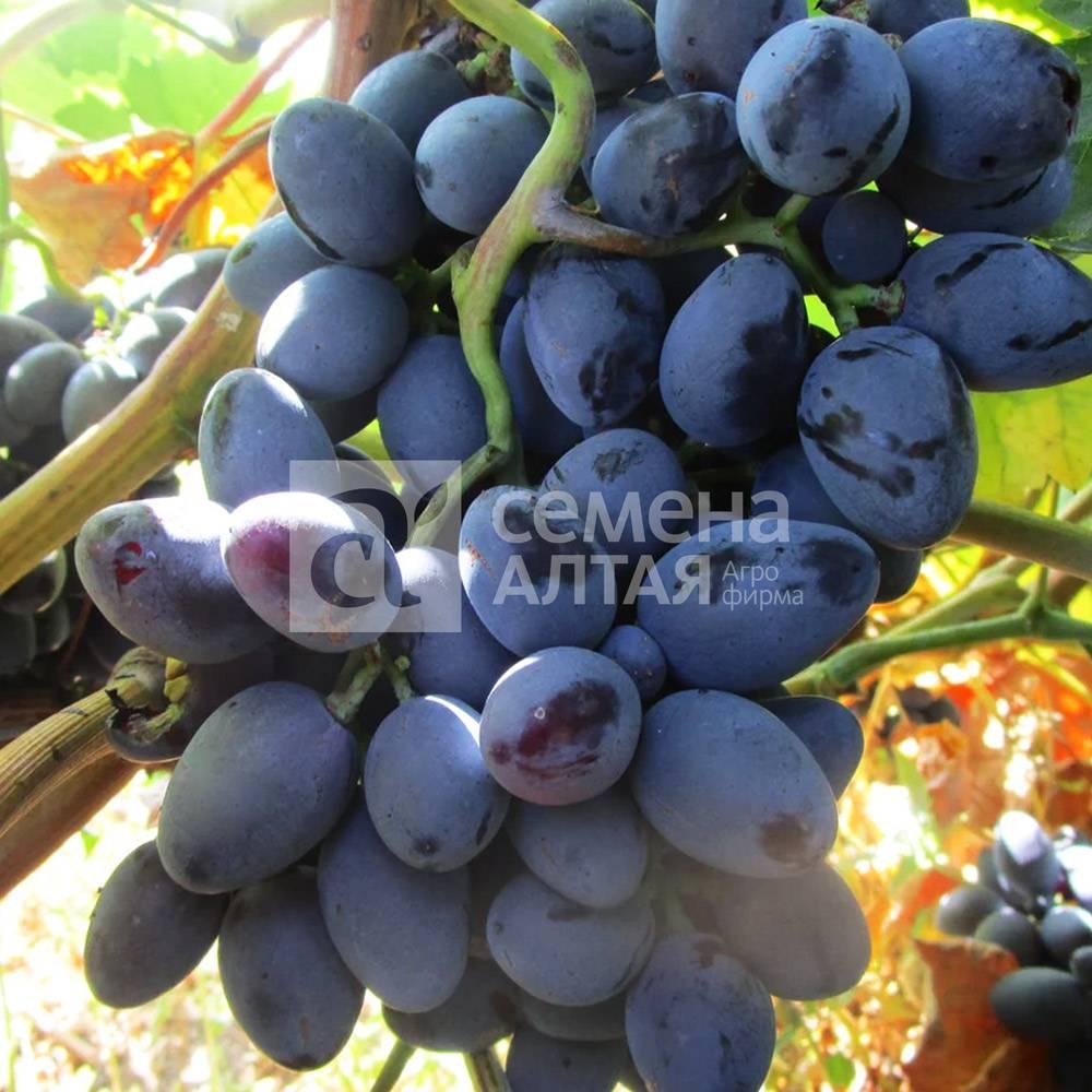 Гибридный виноград алиса: новый перспективный сорт с красивыми ягодами и необычным вкусом