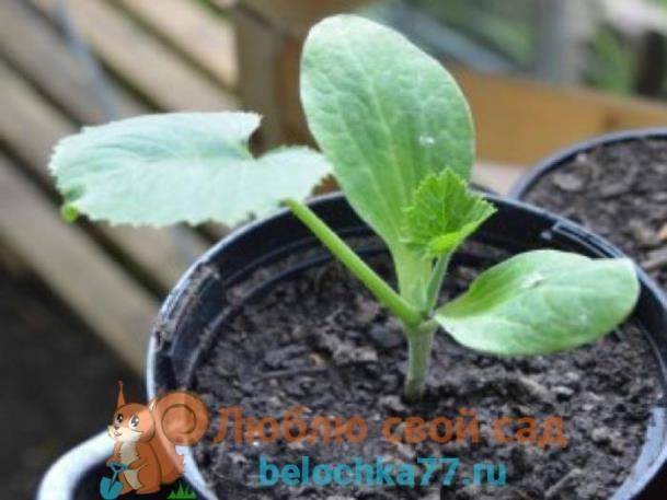 Когда сажать тыкву на рассаду в 2019 году. посадка рассады тыквы