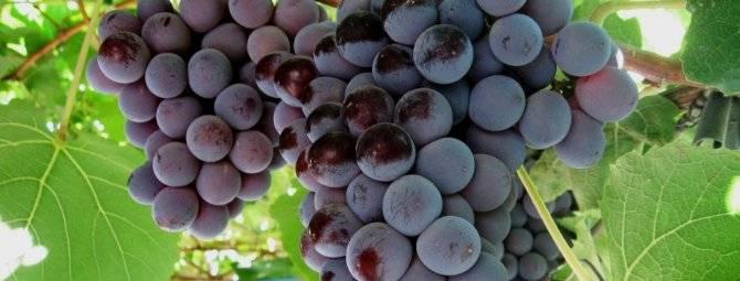 Описание и тонкости выращивания калифорнийского винограда кардинал