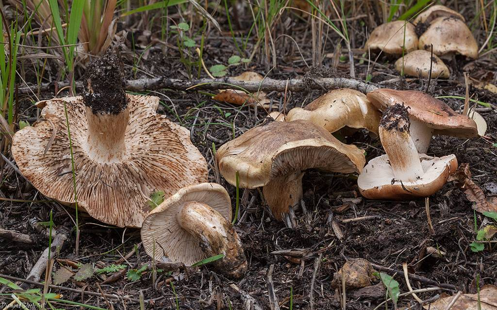Тополиная рядовка: описание, полезные свойства и рецепты приготовления маринованного и засоленного гриба