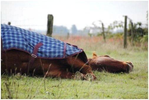 Как спят лошади: лежа или стоя