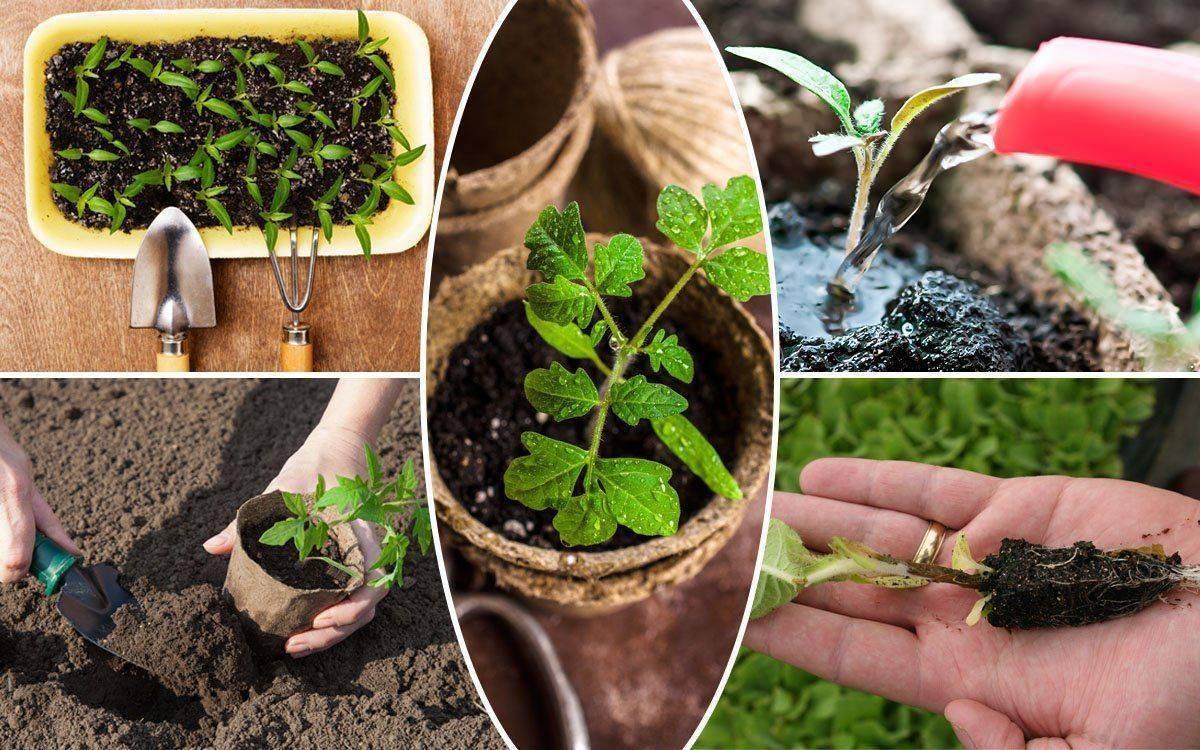 Инфекции на листьях рассады баклажанов: эффективное лечение