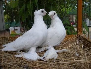 Как правильно разводить и содержать голубей в домашних условиях